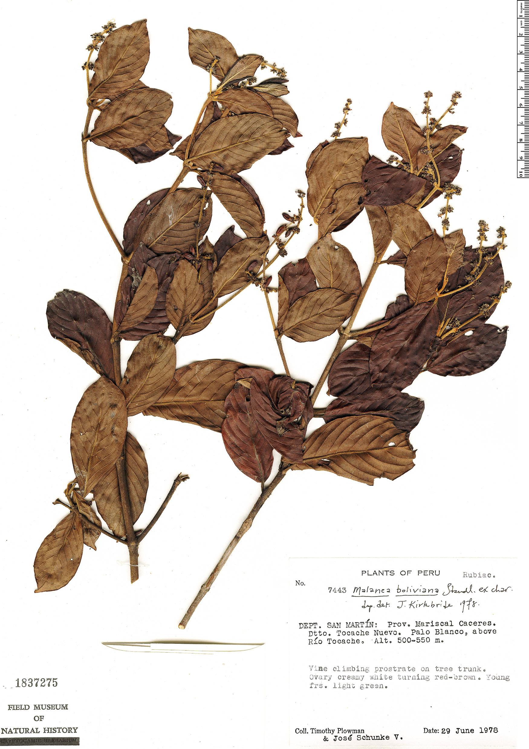 Specimen: Malanea boliviana