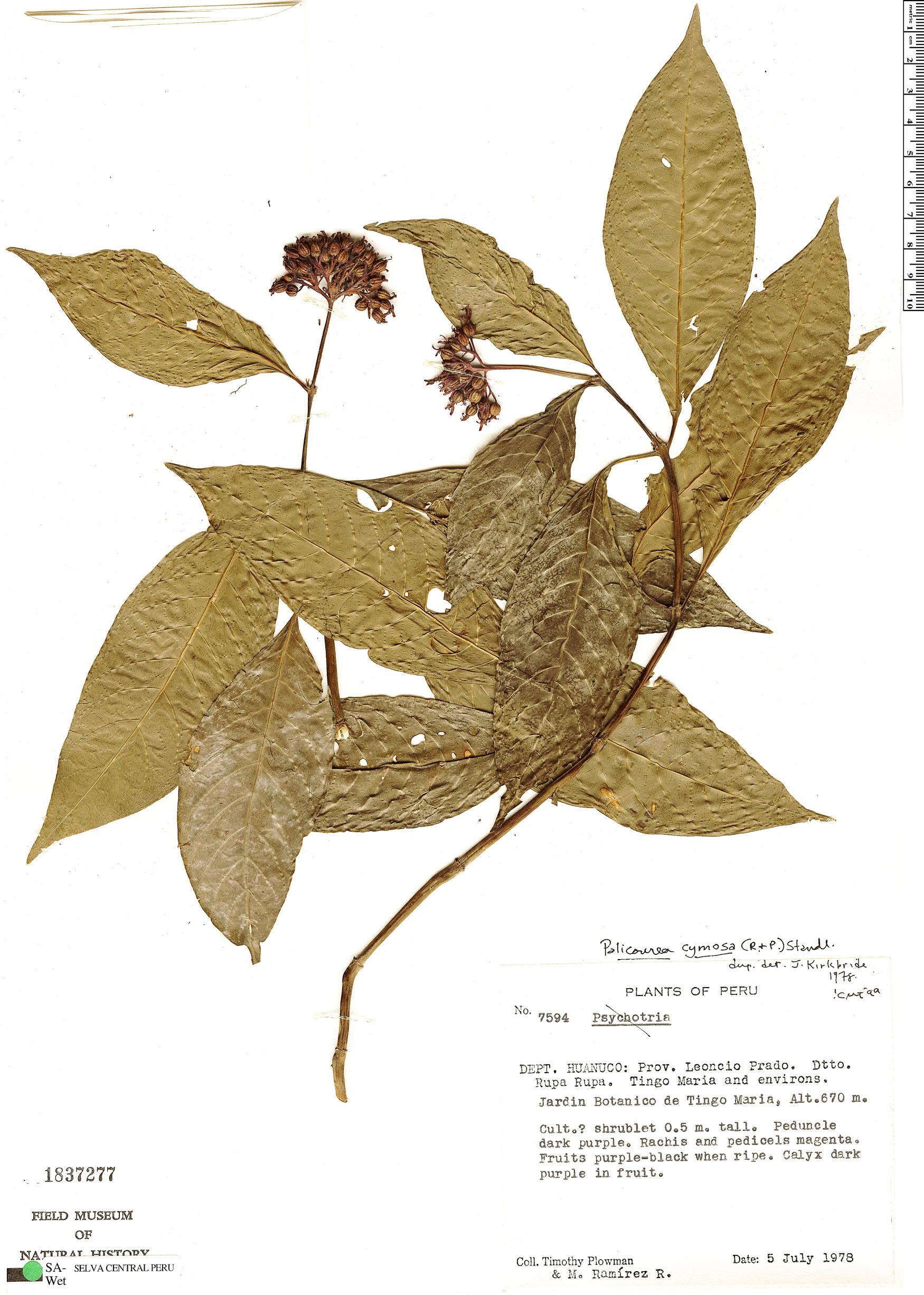 Specimen: Palicourea cymosa