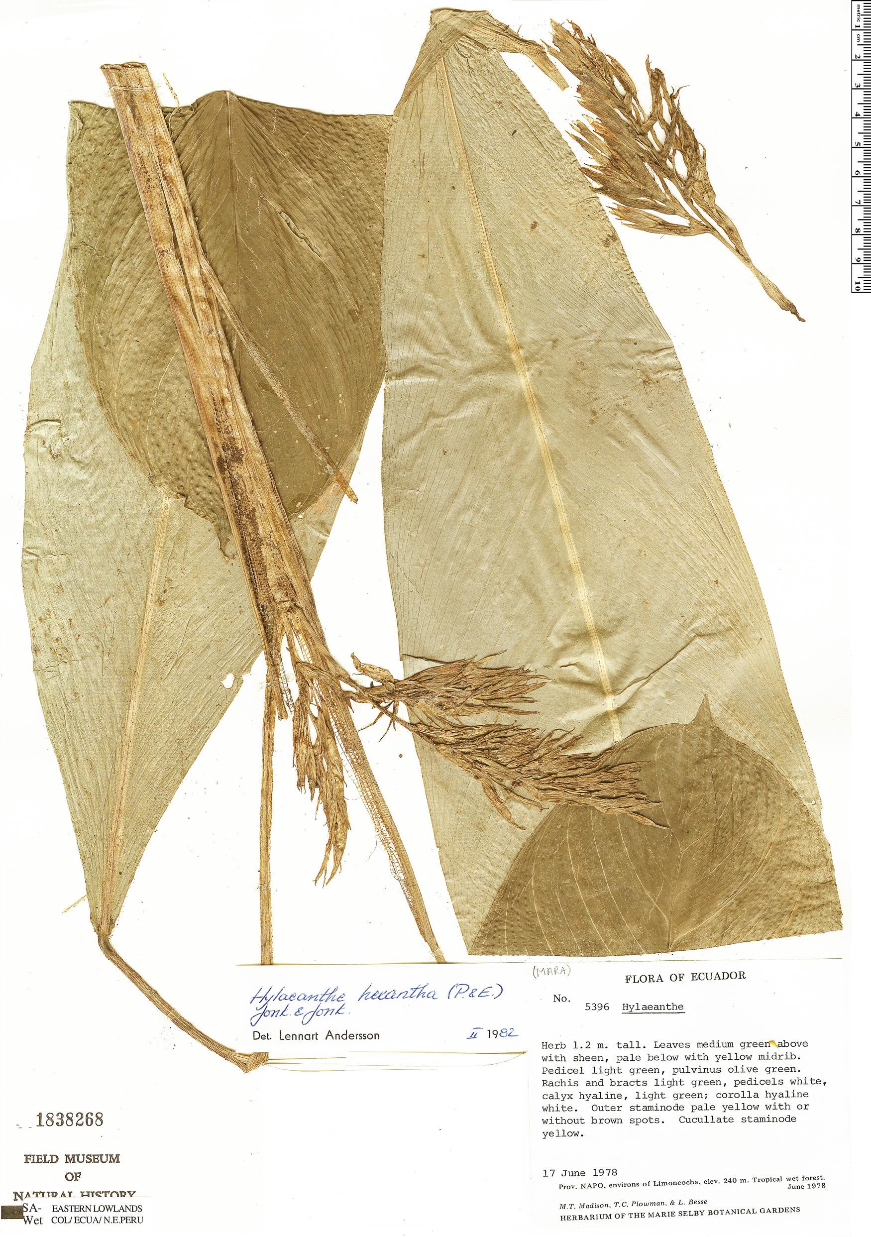 Specimen: Hylaeanthe hexantha