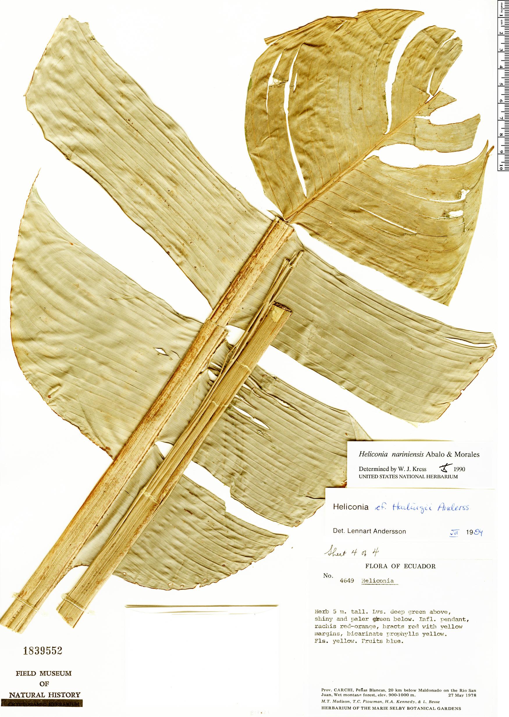 Specimen: Heliconia nariniensis