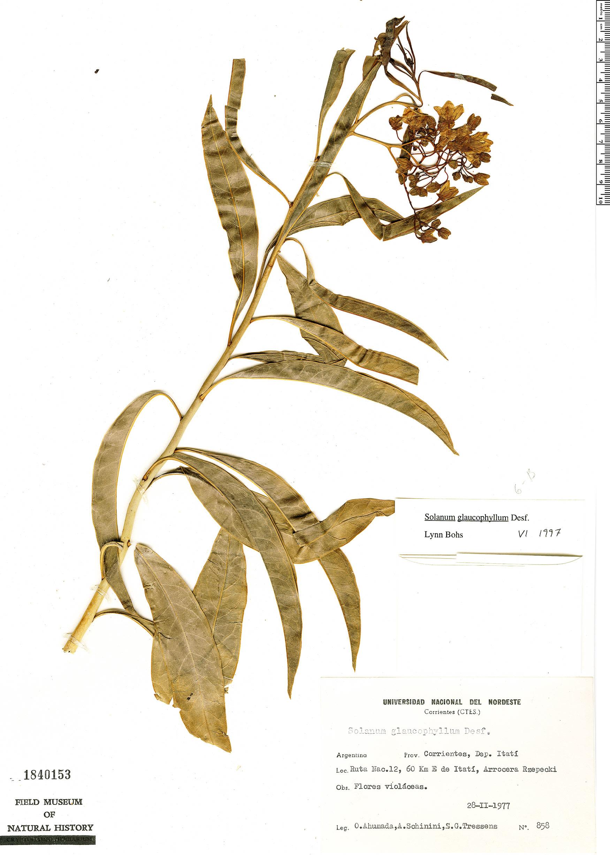 Specimen: Solanum glaucophyllum
