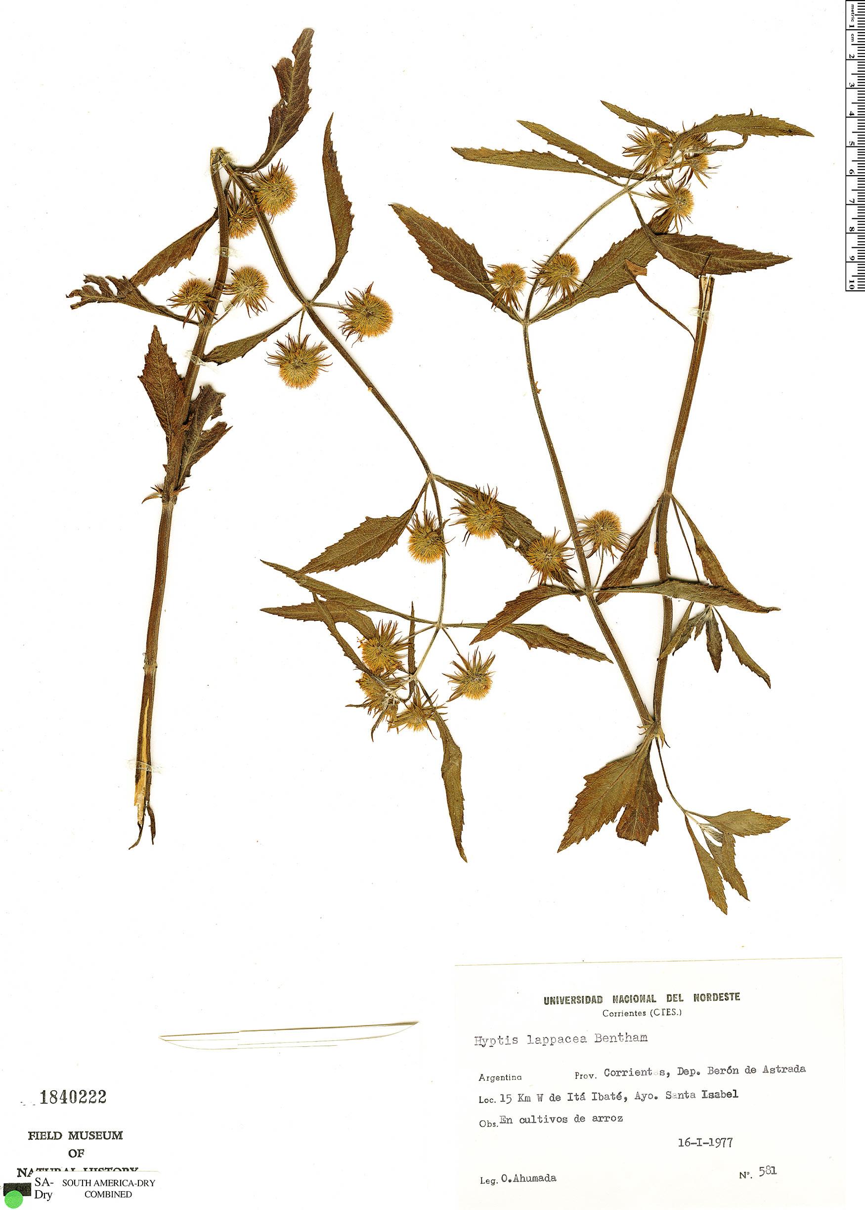 Specimen: Hyptis lappacea