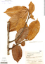 Naucleopsis naga, Colombia, I. Cabrera-Rodríguez 457, F
