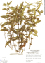 Hygrophila costata Nees, Costa Rica, R. L. Wilbur 22497, F