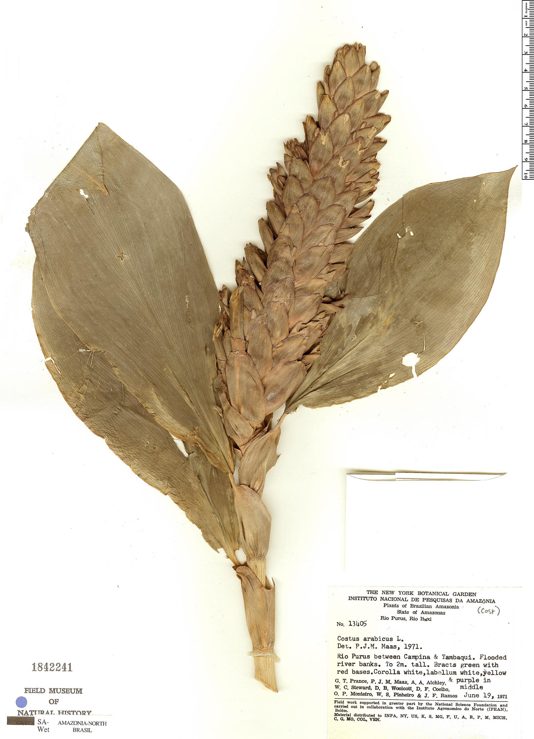 Specimen: Costus arabicus