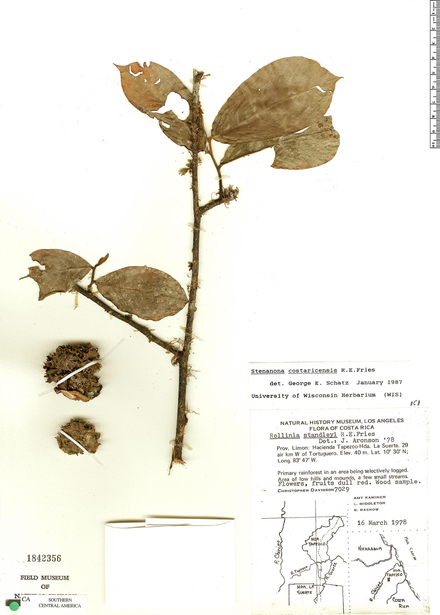 Specimen: Stenanona costaricensis