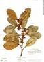 Ficus americana subsp. americana, Ecuador, M. T. Madison 5279, F