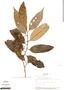 Virola elongata, Panama, M. D. Corrêa A. 1078, F