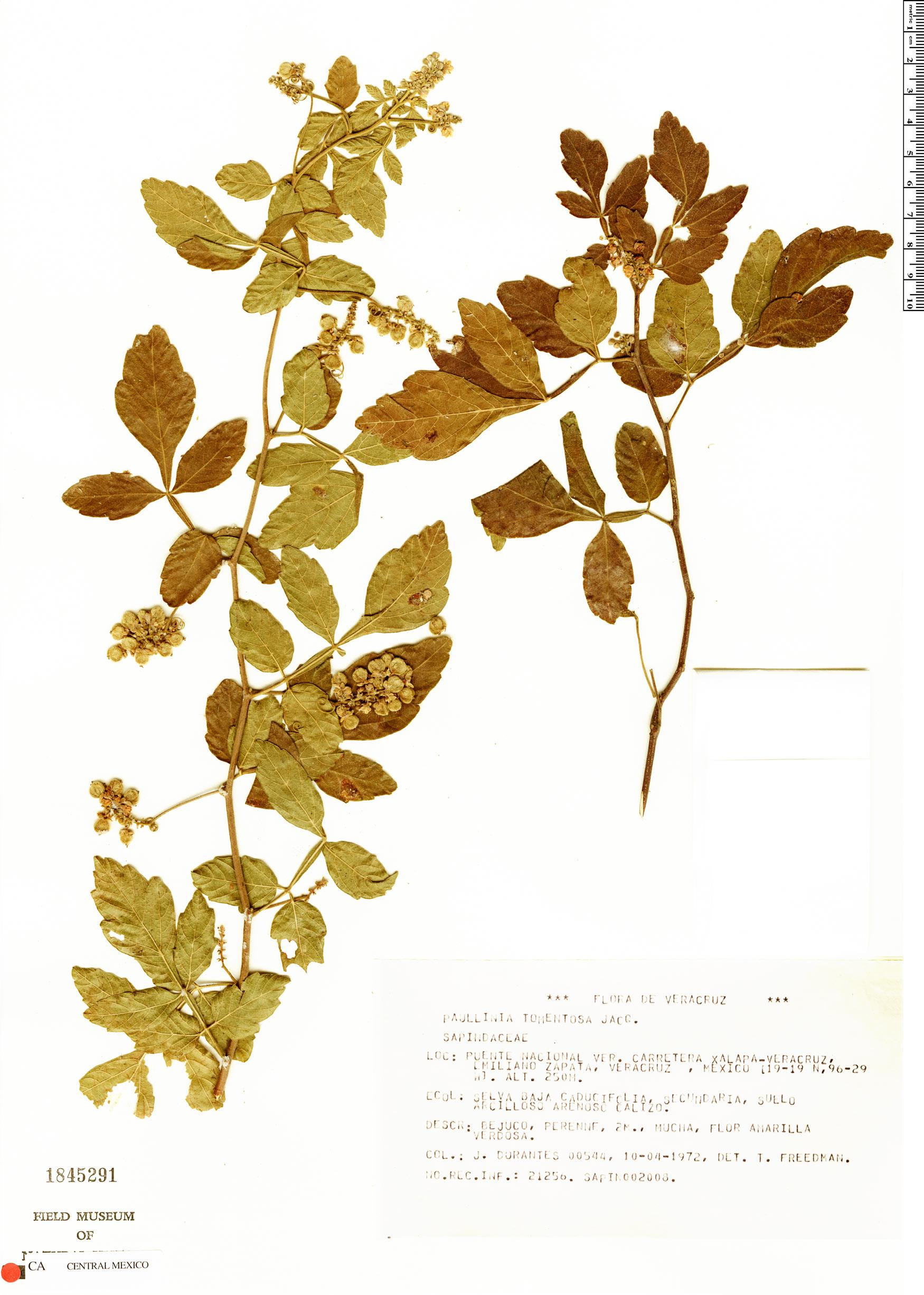 Specimen: Paullinia tomentosa