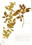 Paullinia tomentosa Jacq., Mexico, J. Dorantes 21256, F
