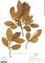 Ficus trigona L. f., Ecuador, R. B. Foster 3867, F