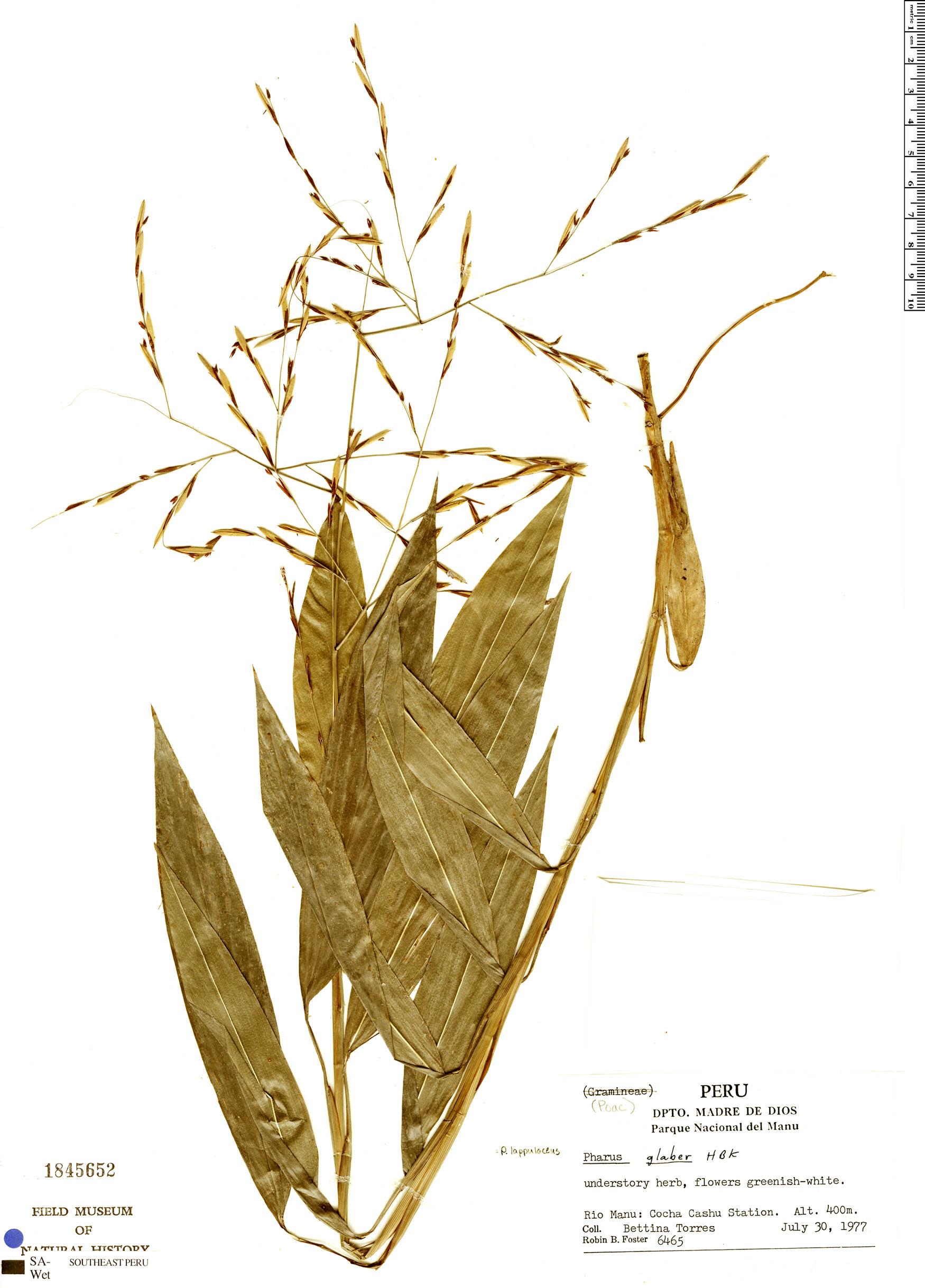 Specimen: Pharus lappulaceus