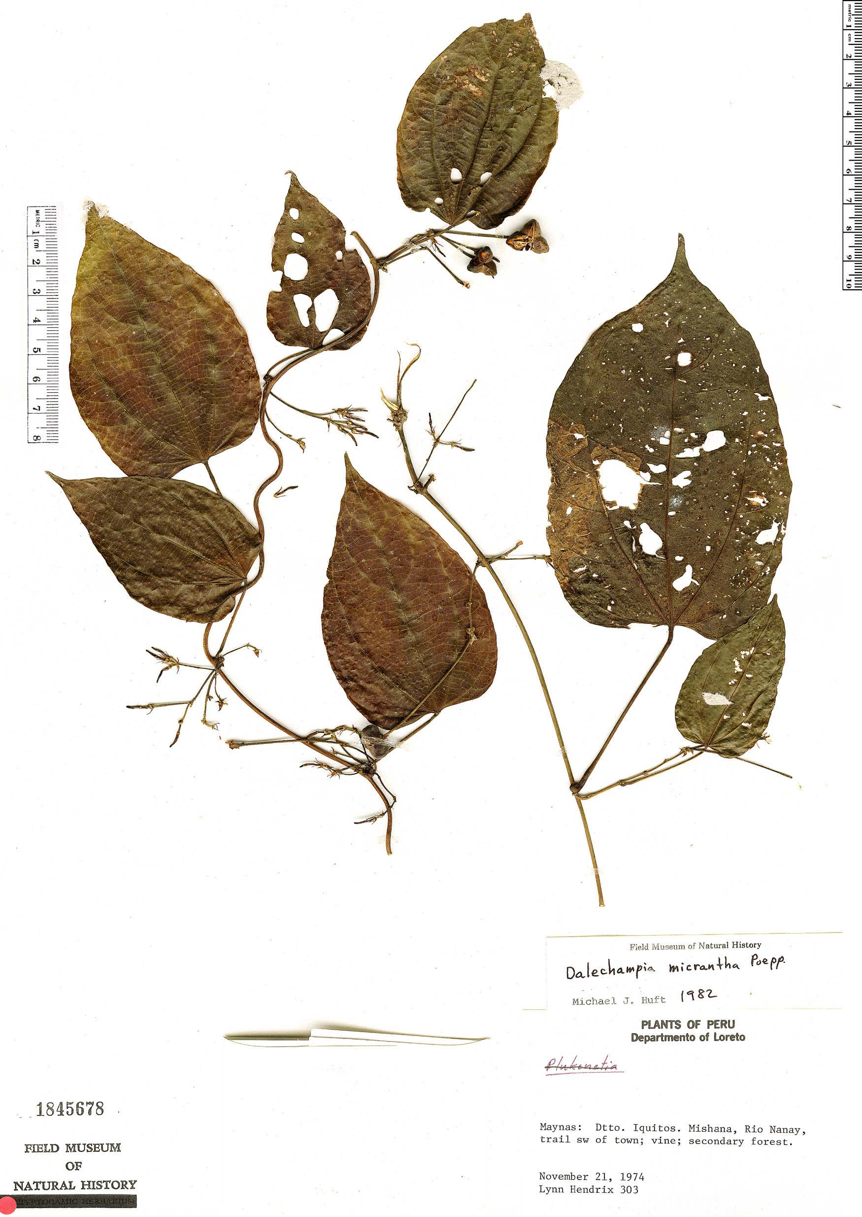 Specimen: Dalechampia micrantha