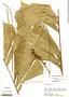 Aiphanes weberbaueri Burret, Peru, S. T. McDaniel 22086, F