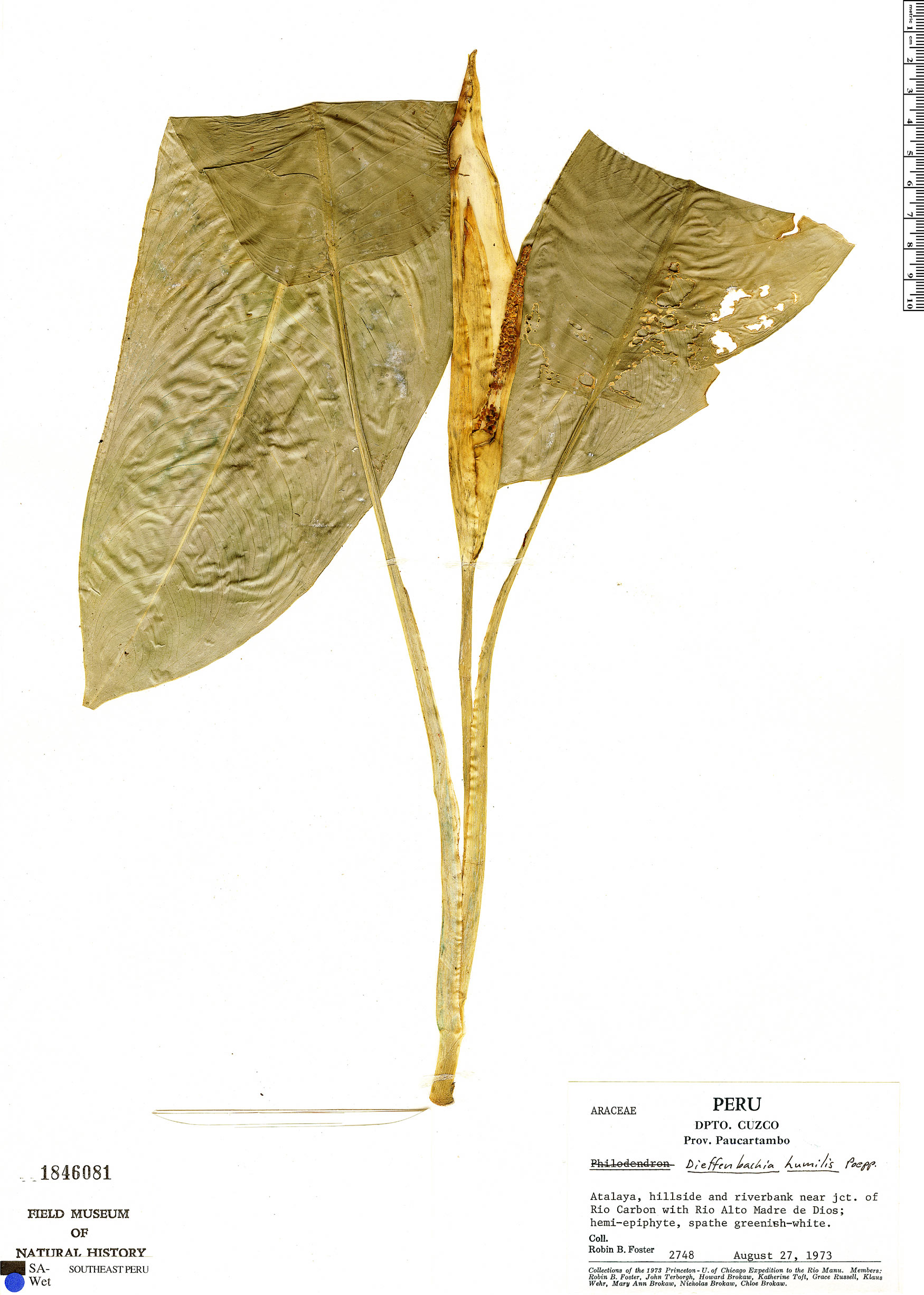 Specimen: Dieffenbachia