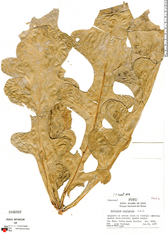 Specimen: Anthurium clavigerum