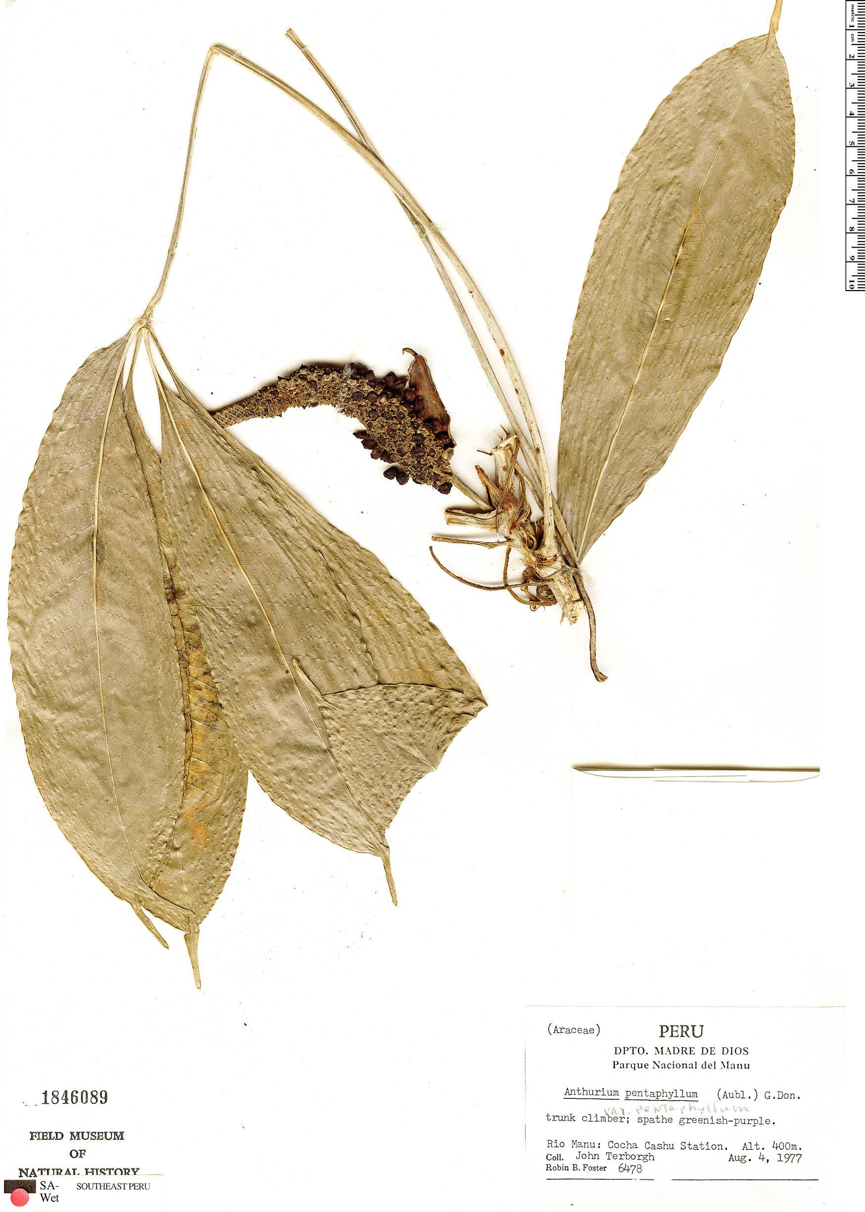 Specimen: Anthurium pentaphyllum