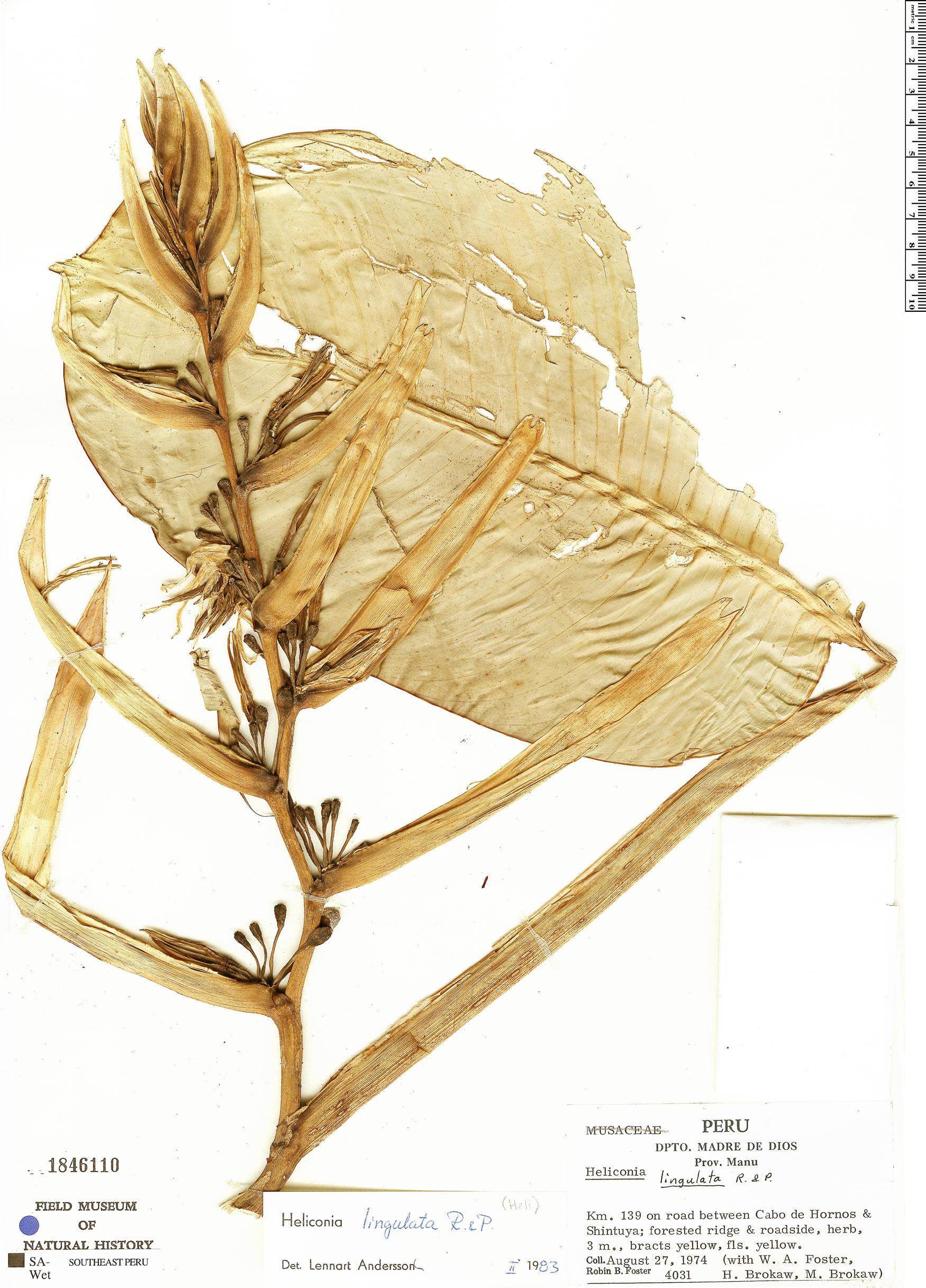 Specimen: Heliconia lingulata