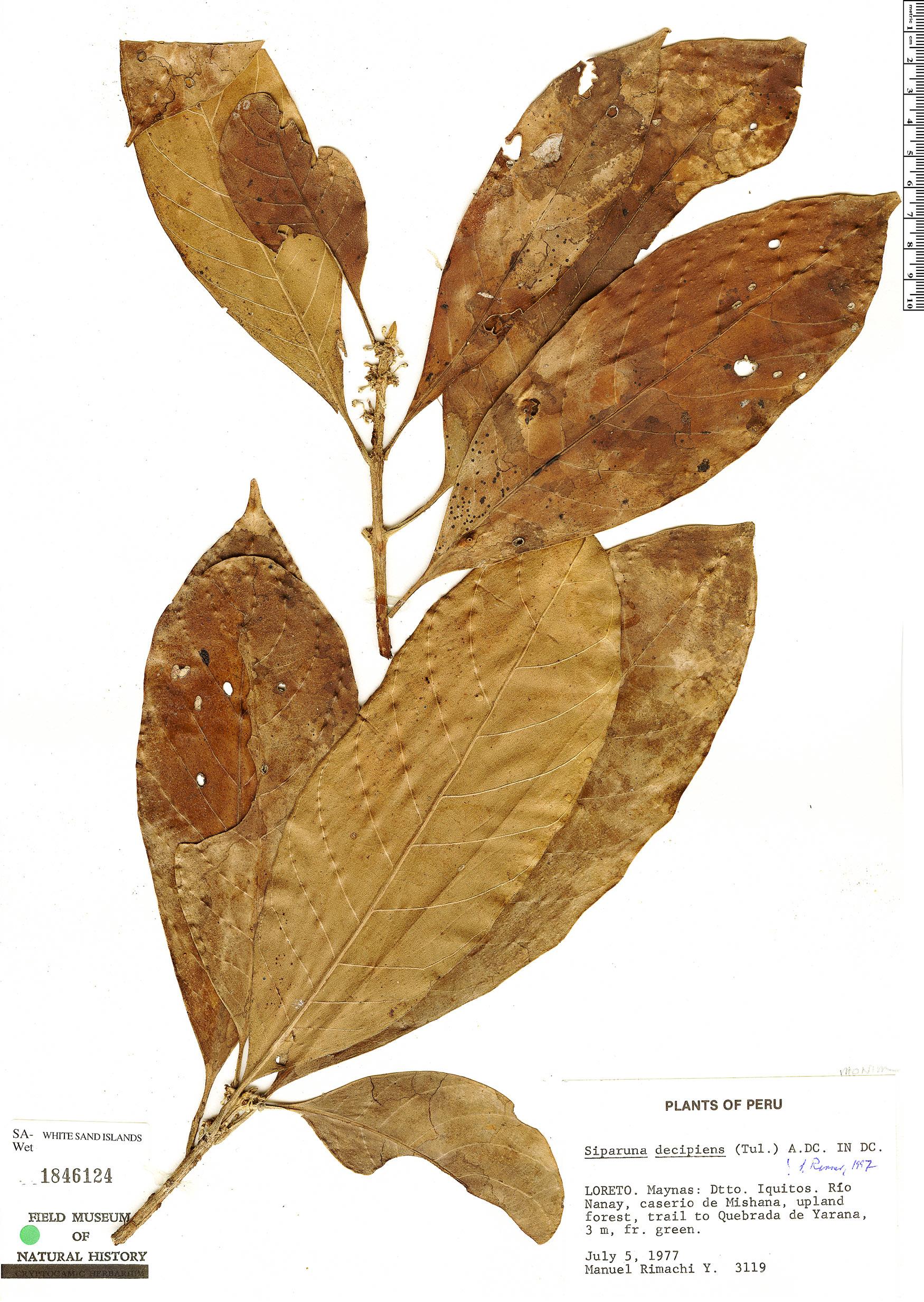 Specimen: Siparuna decipiens