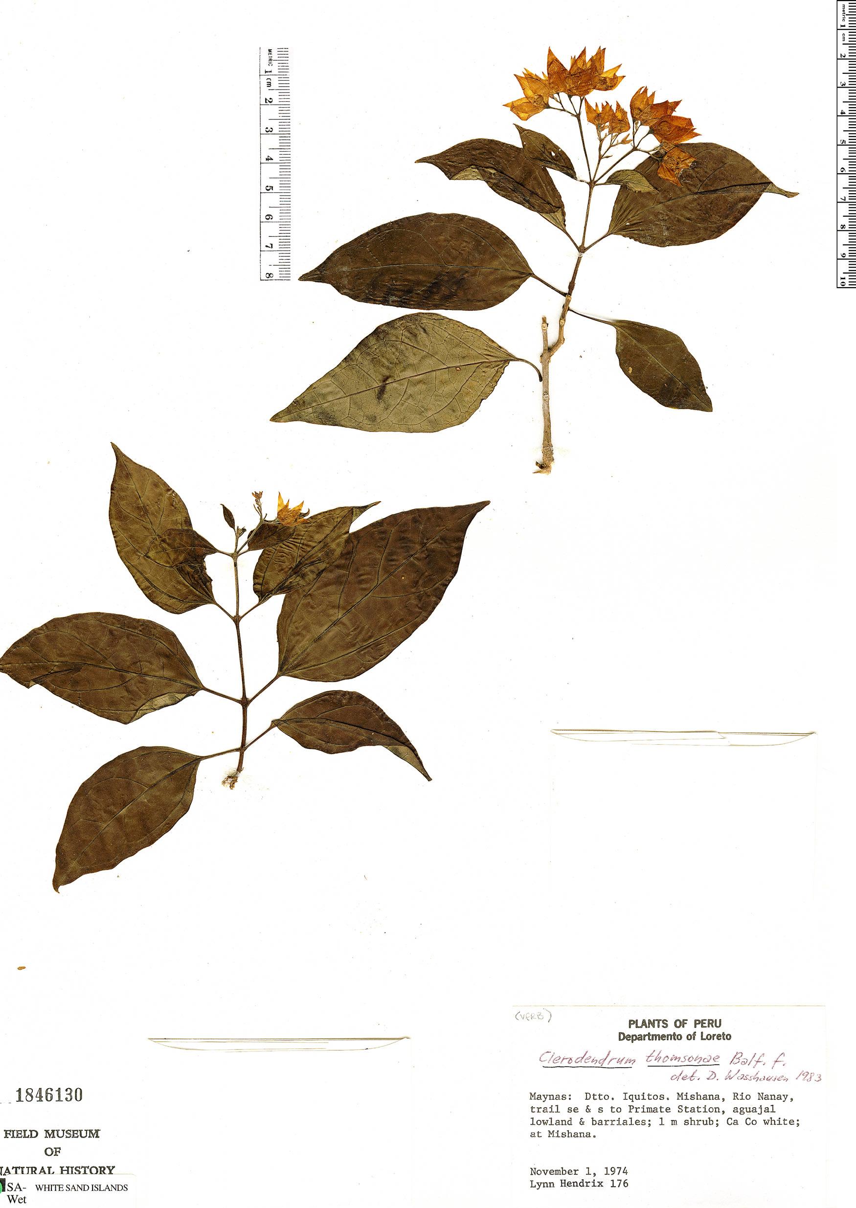 Espécimen: Clerodendrum umbellatum