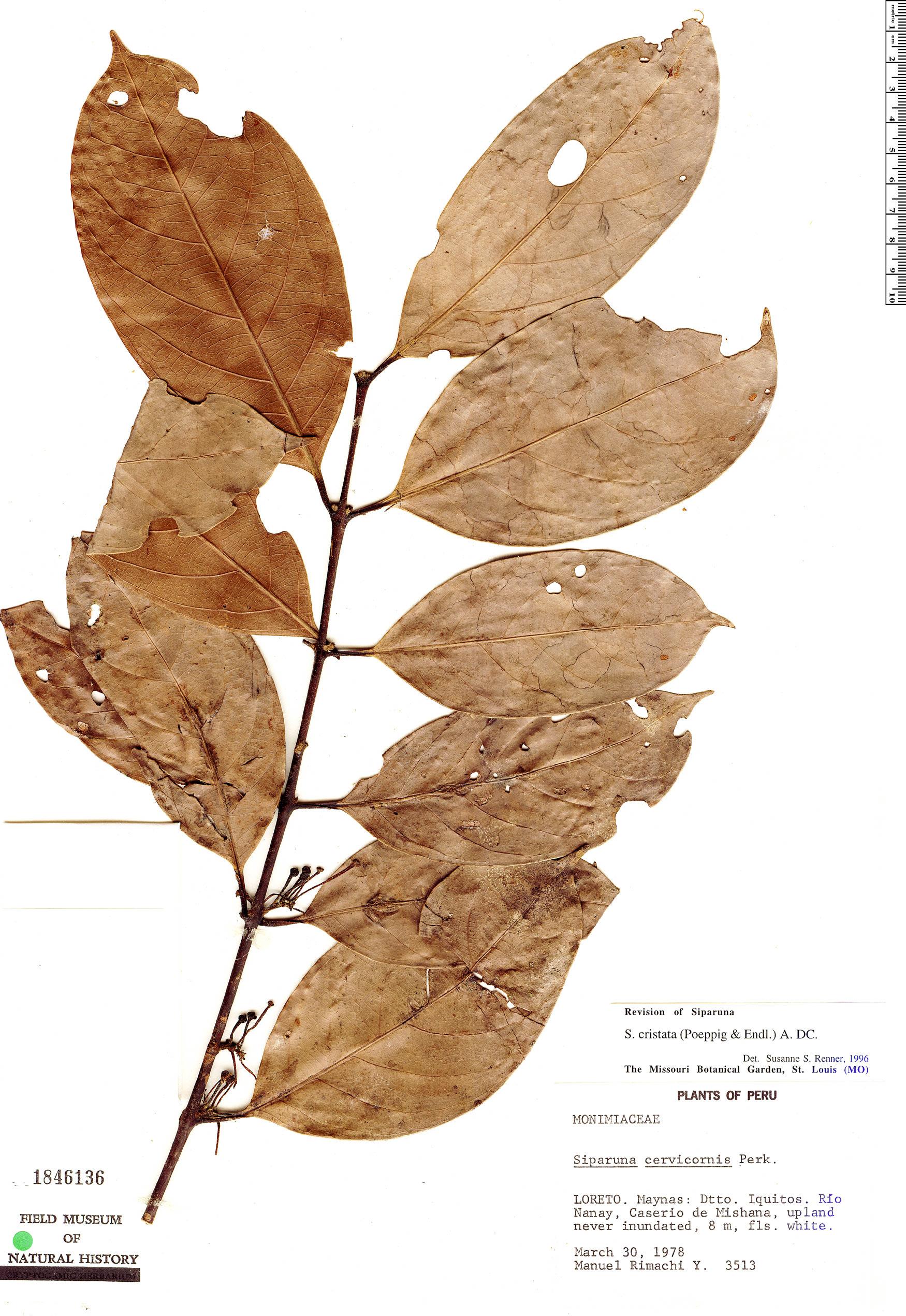 Specimen: Siparuna cristata