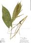 Pharus latifolius L., Peru, R. B. Foster 3320, F