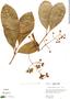 Chrysochlamys ulei Engl., Peru, R. B. Foster 3531, F