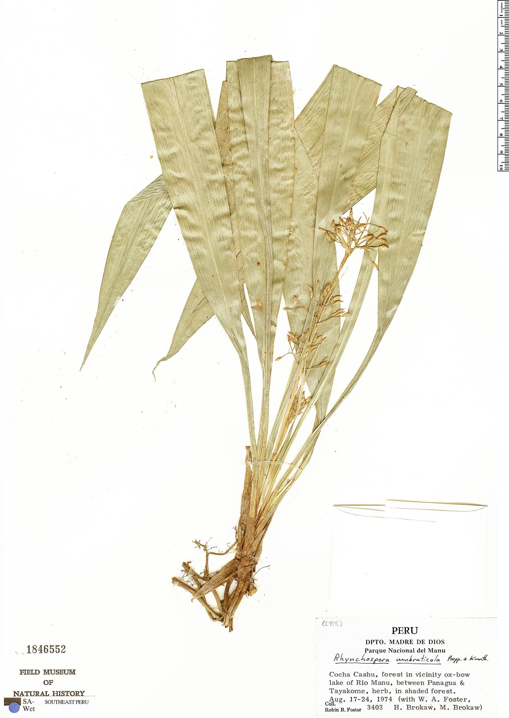 Specimen: Rhynchospora umbraticola