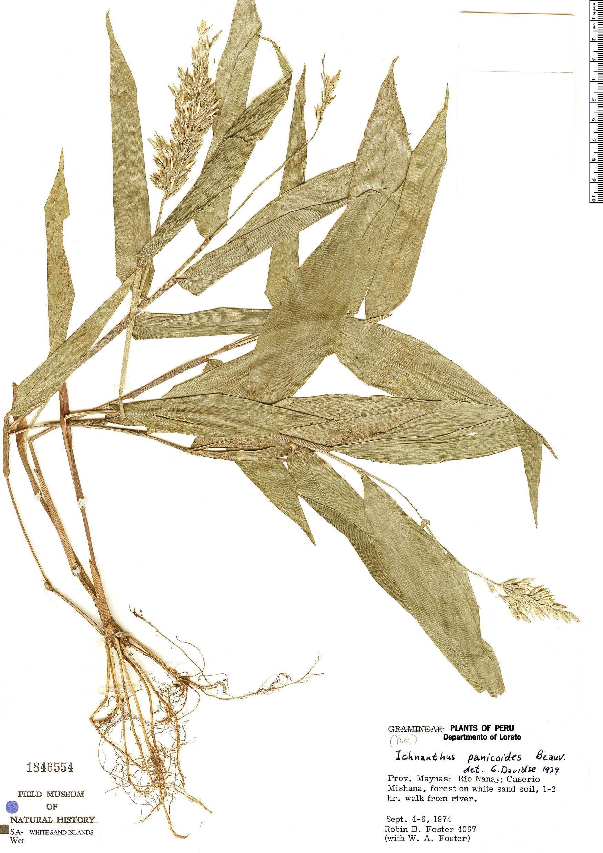 Specimen: Ichnanthus panicoides
