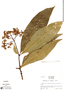 Palicourea lucidula Standl., Ecuador, R. B. Foster 3636, F