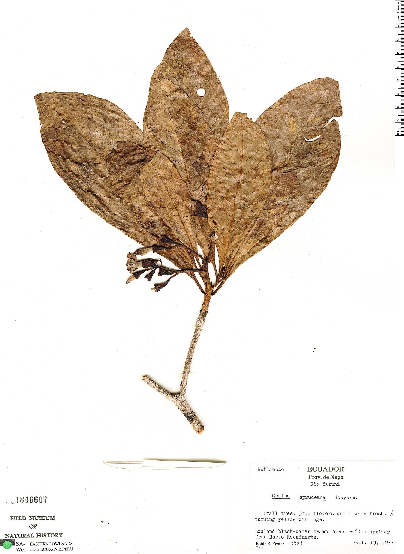 Specimen: Genipa spruceana