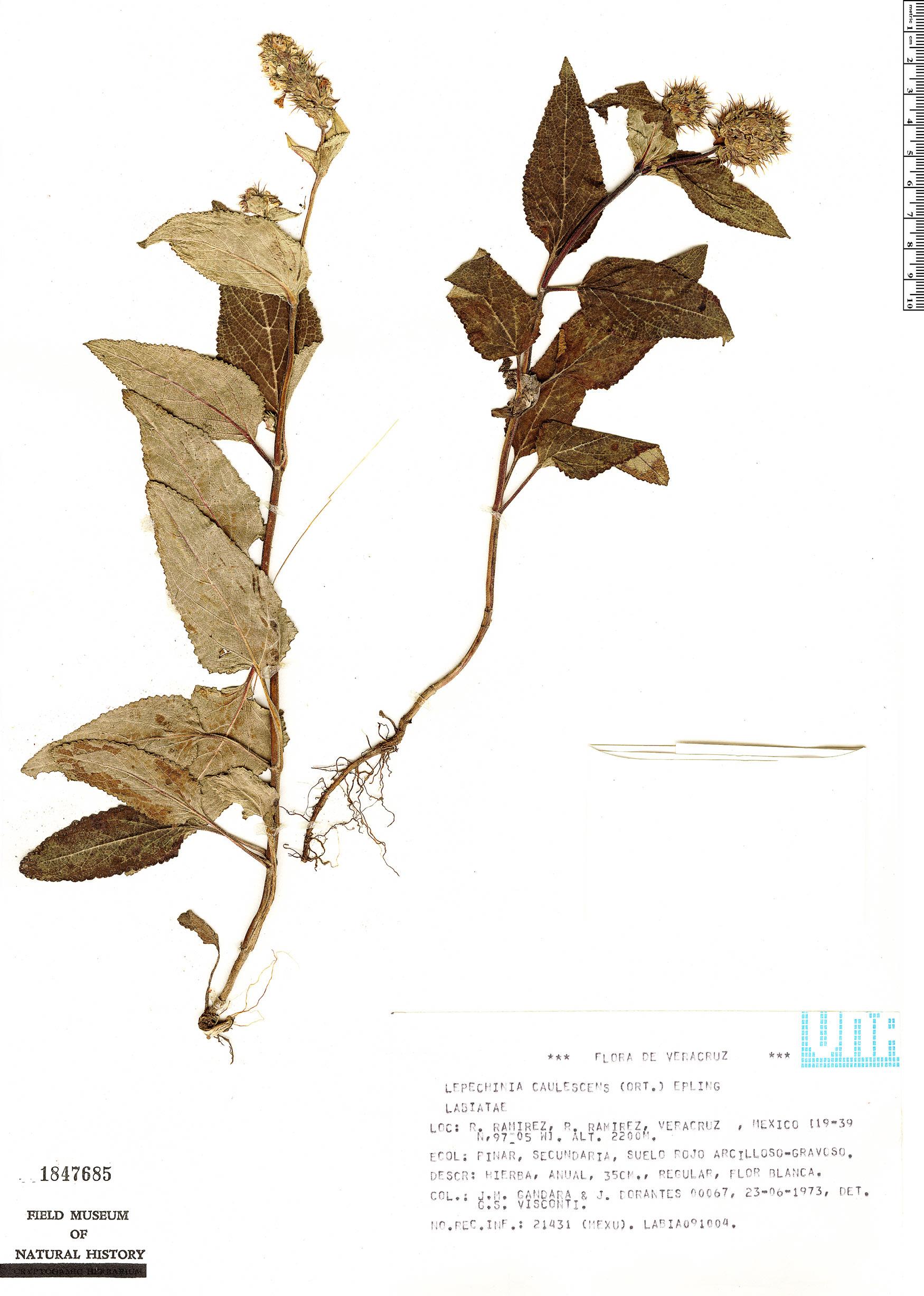 Specimen: Lepechinia caulescens