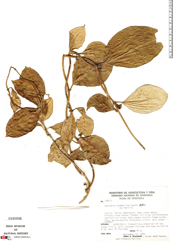 Specimen: Marsdenia xerohylica