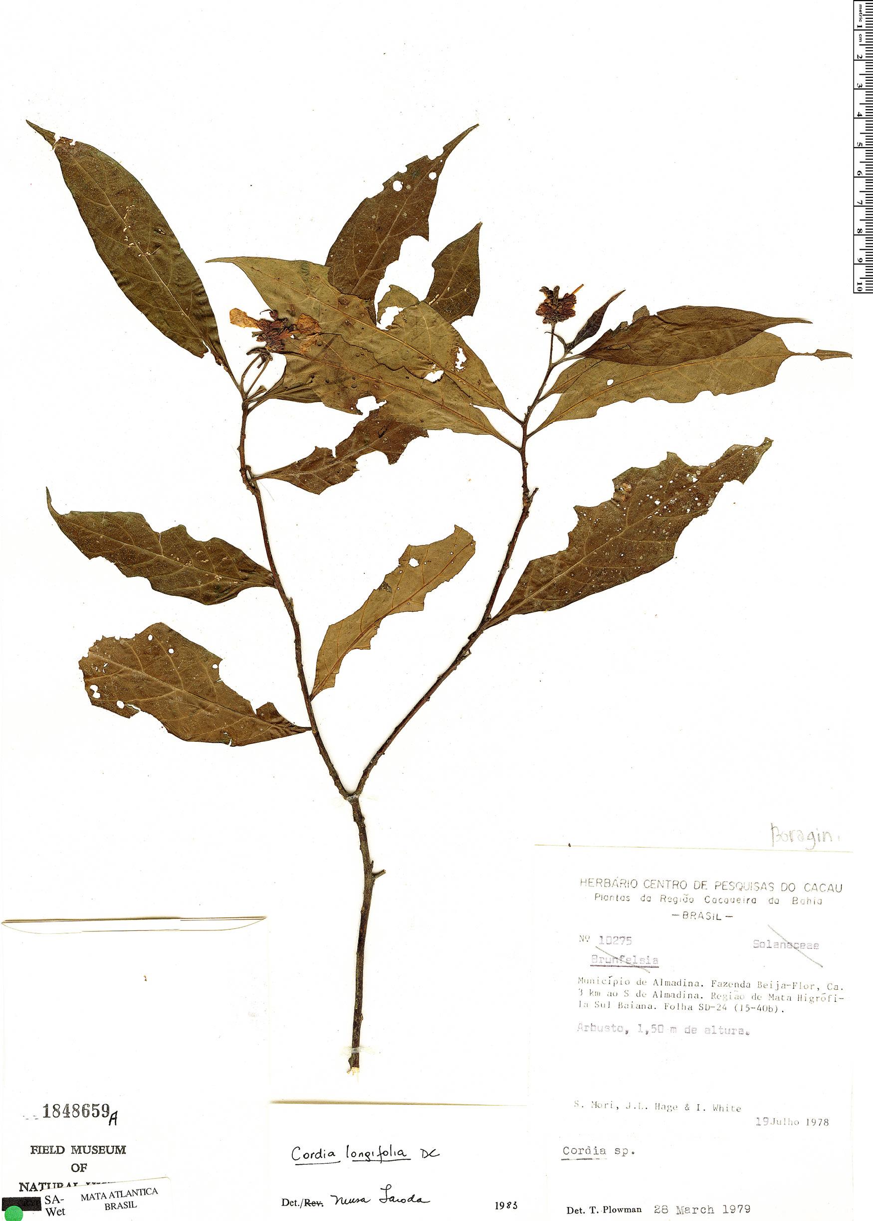 Specimen: Varronia tarodaea