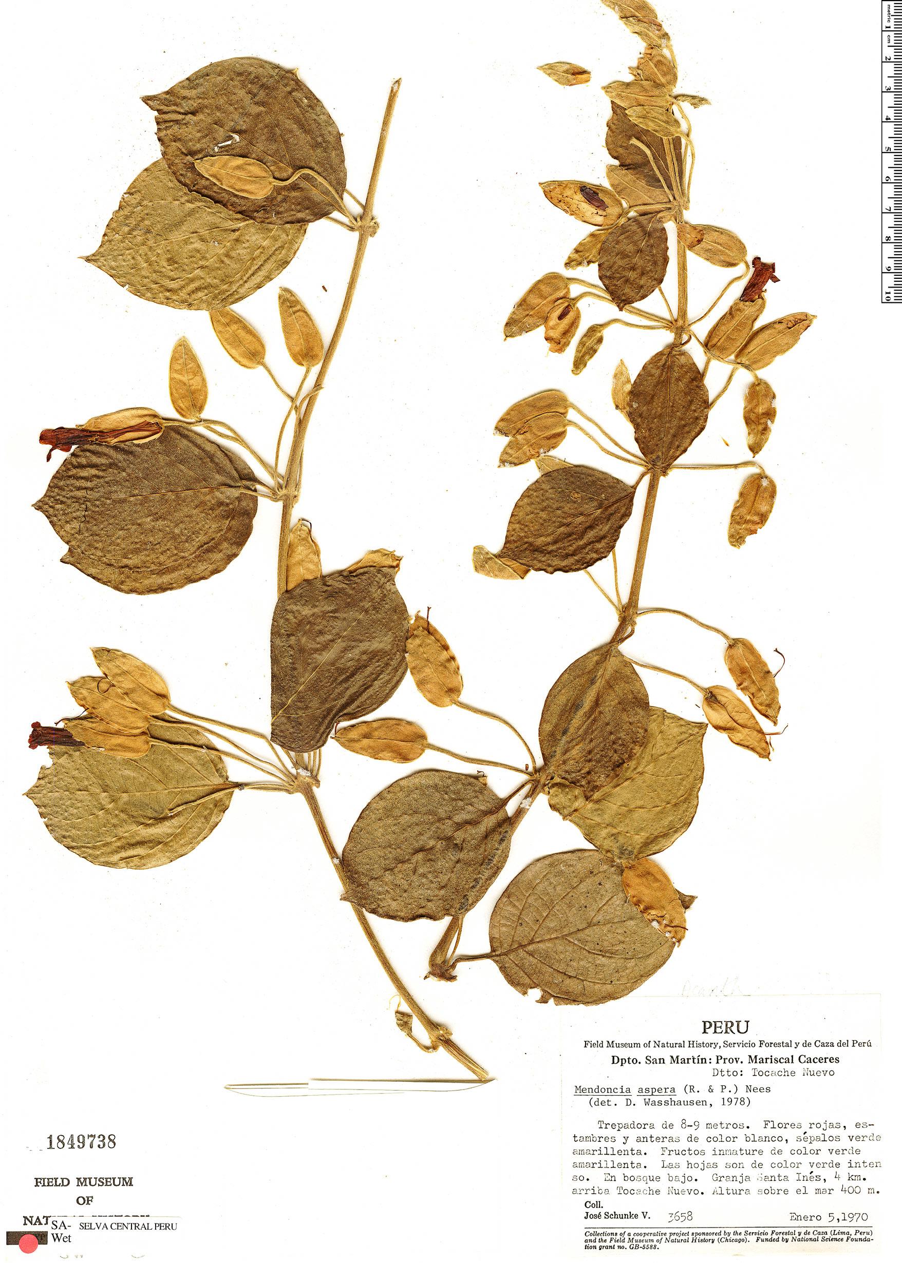 Espécime: Mendoncia aspera