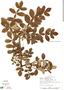 Bursera tomentosa (Jacq.) Triana & Planch., Costa Rica, R. L. Liesner 2385, F