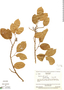 Protium Burm. f., Venezuela, J. A. Steyermark 75494, F