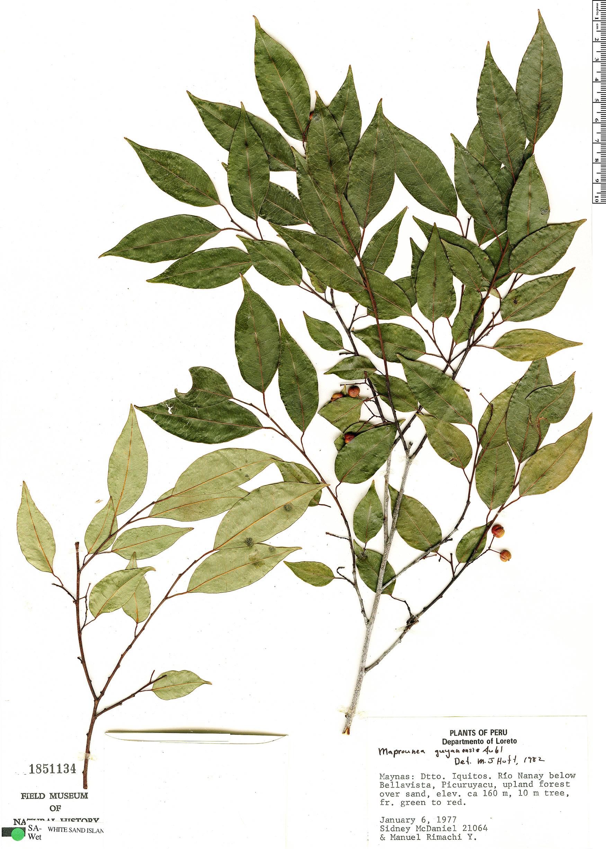 Specimen: Maprounea guianensis