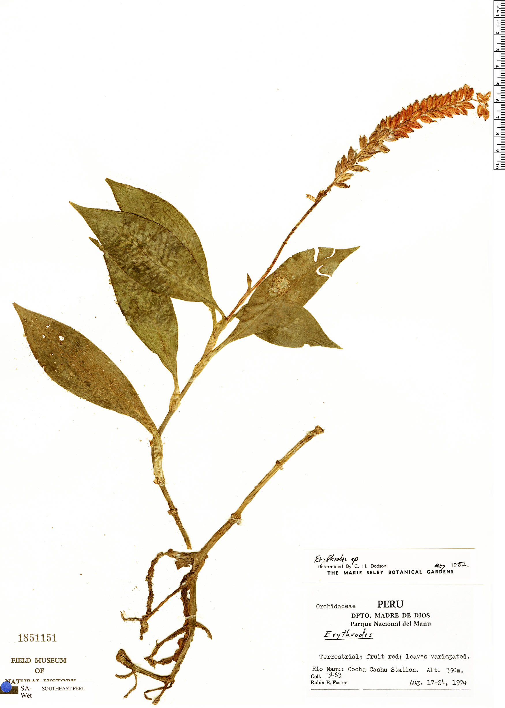 Specimen: Ligeophila rosea