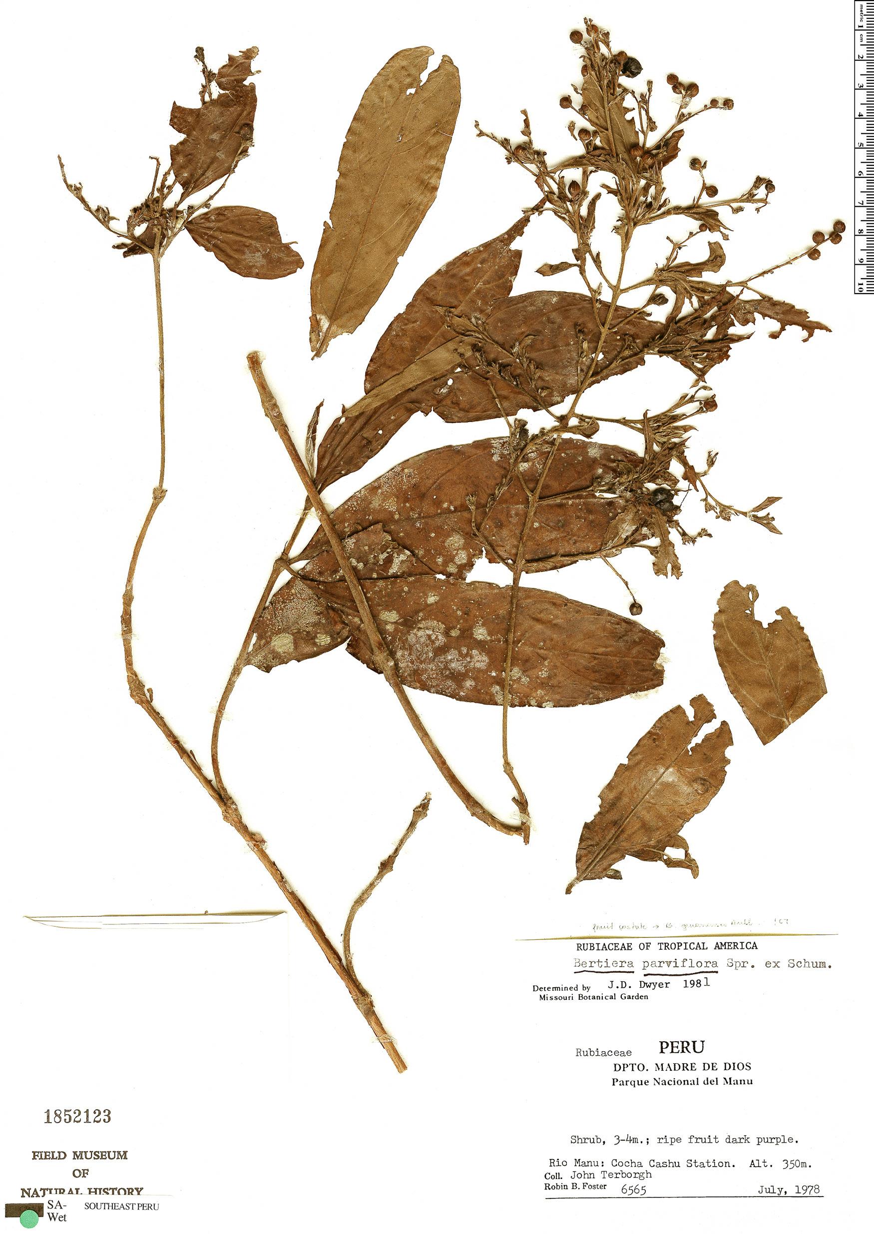 Specimen: Bertiera parviflora