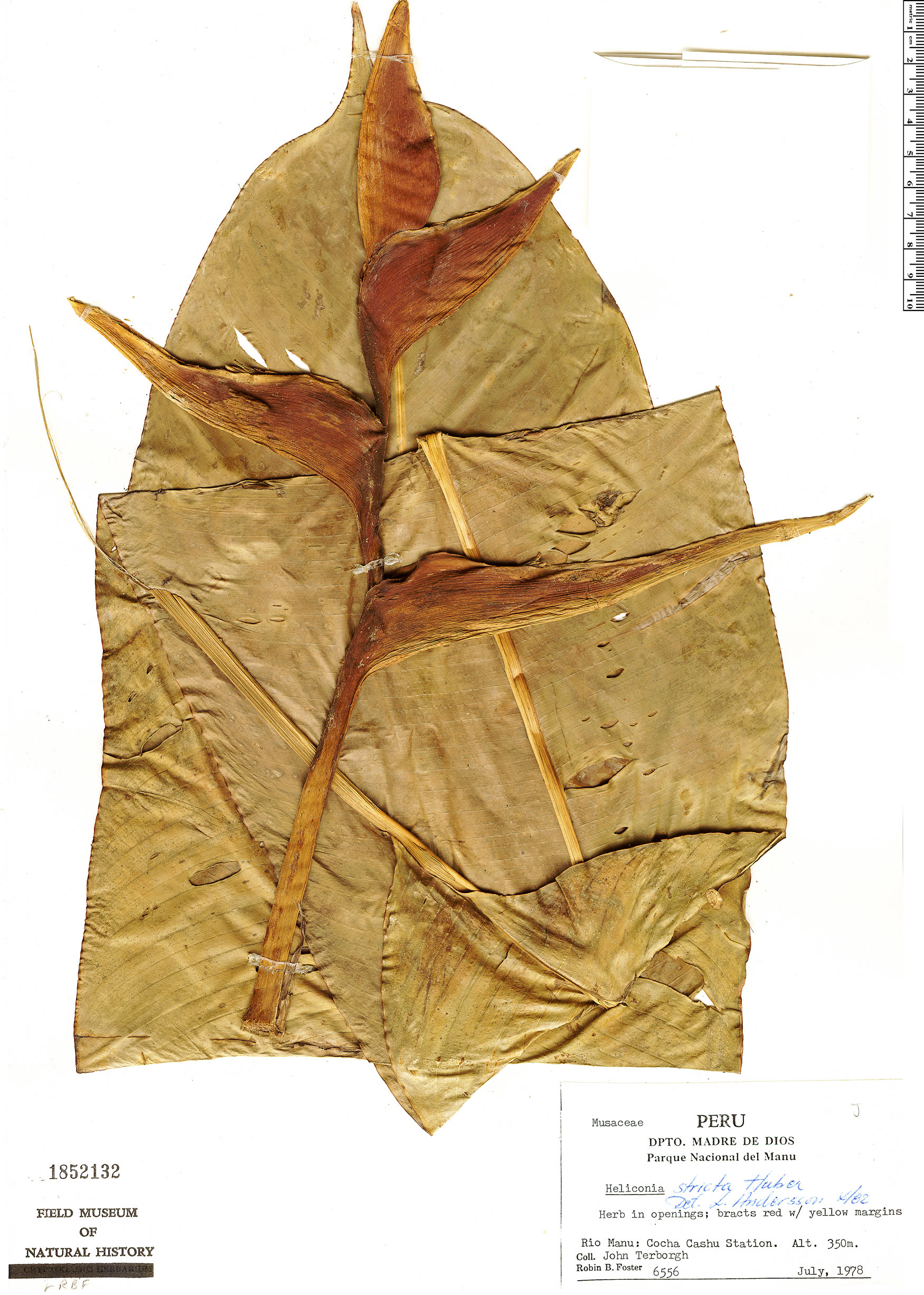 Espécimen: Heliconia stricta