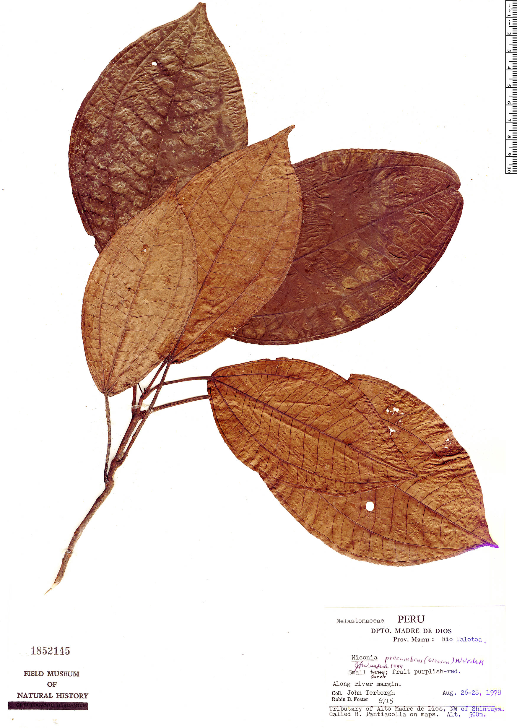 Specimen: Miconia procumbens