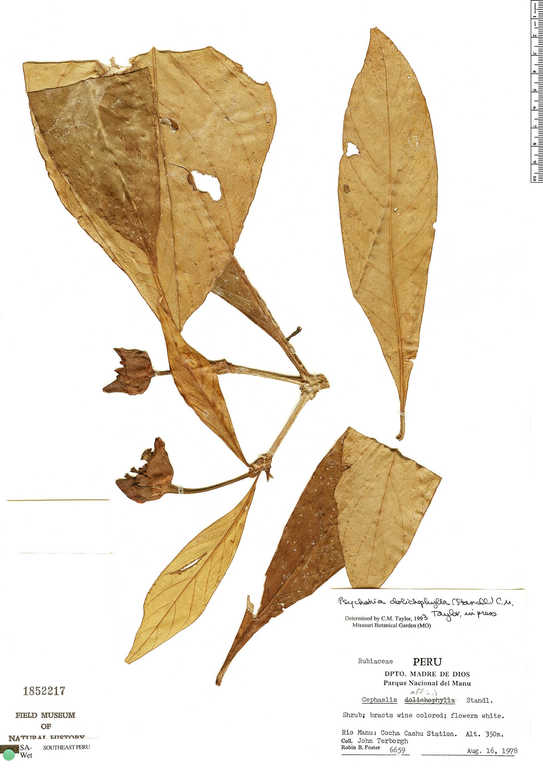 Specimen: Carapichea dolichophylla