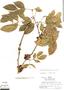 Zygia latifolia, Peru, R. B. Foster 6605, F