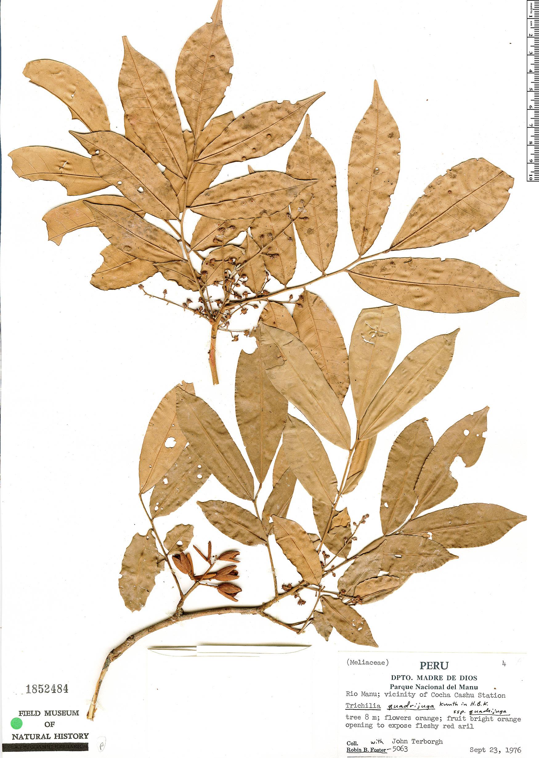 Specimen: Trichilia quadrijuga