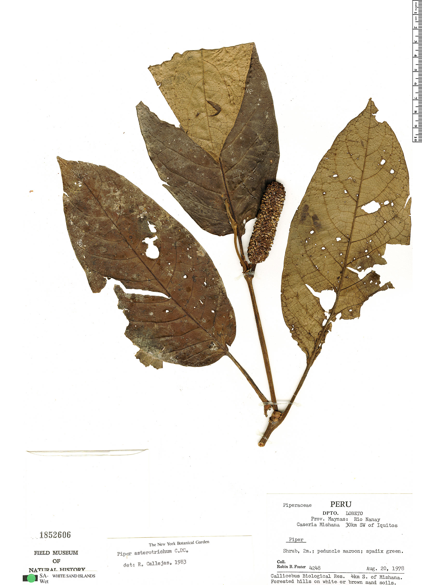 Specimen: Piper asterotrichum