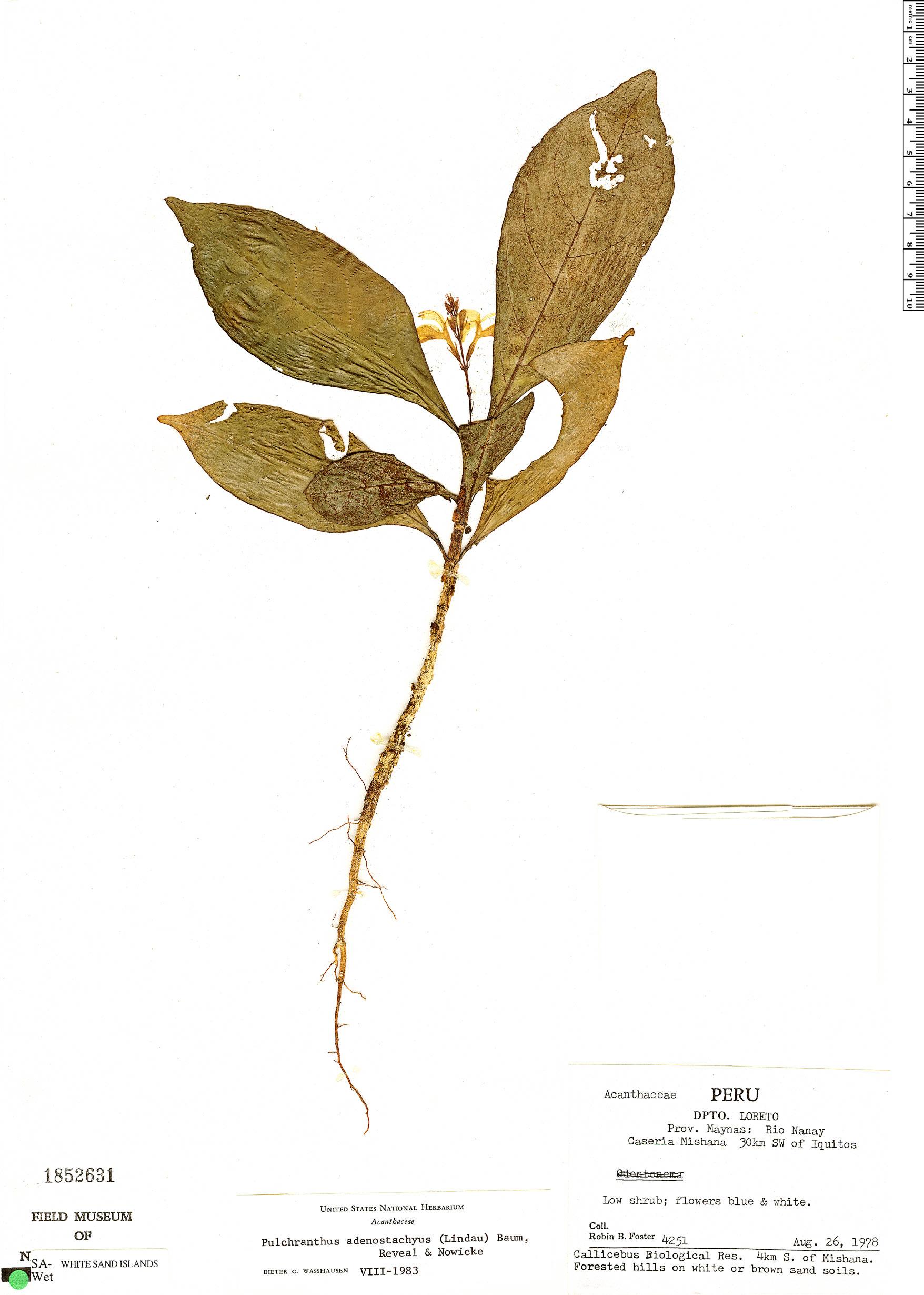 Specimen: Pulchranthus adenostachyus