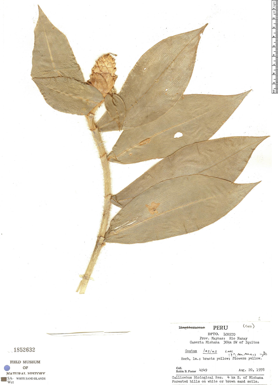 Specimen: Costus lasius