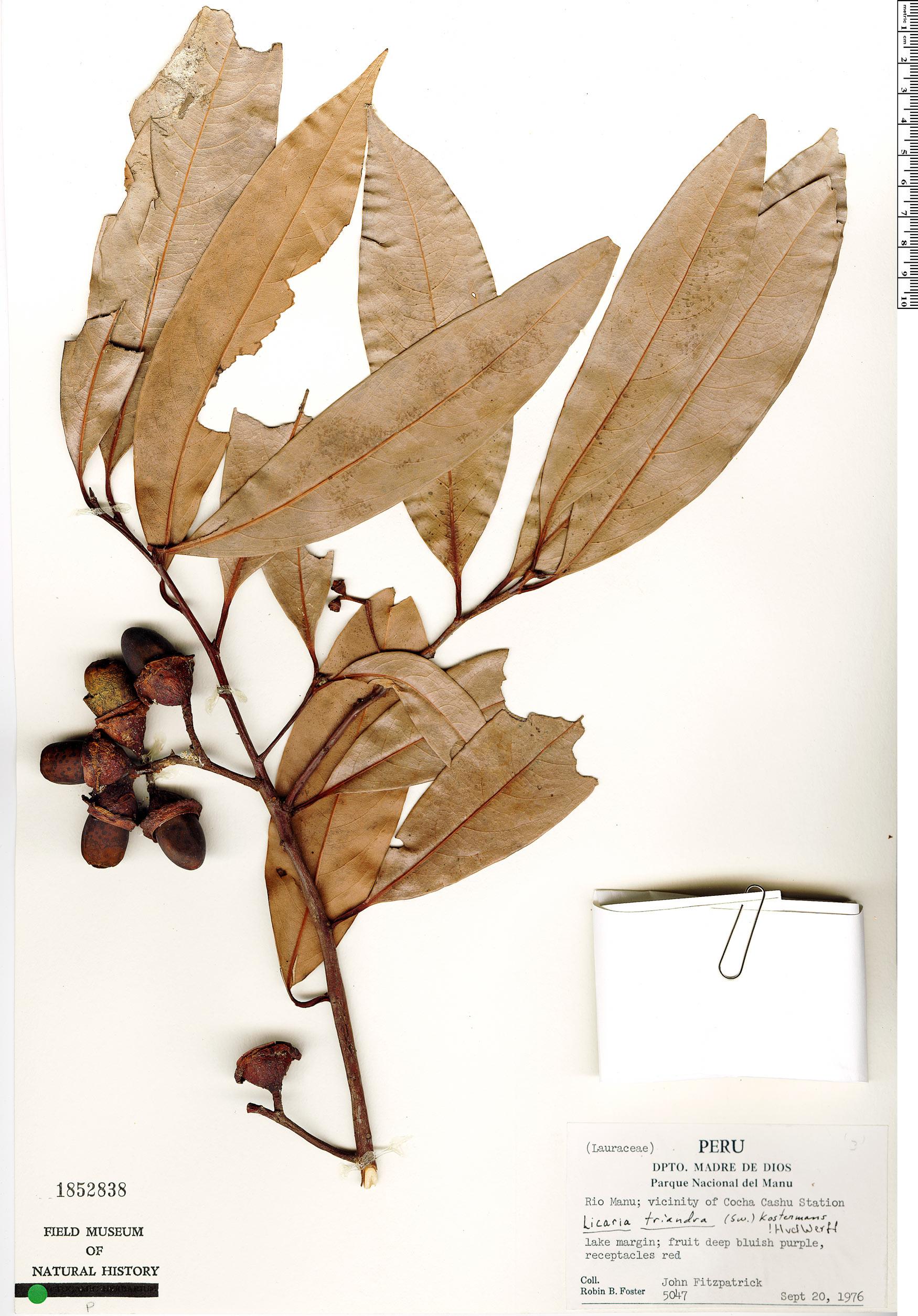 Specimen: Licaria triandra
