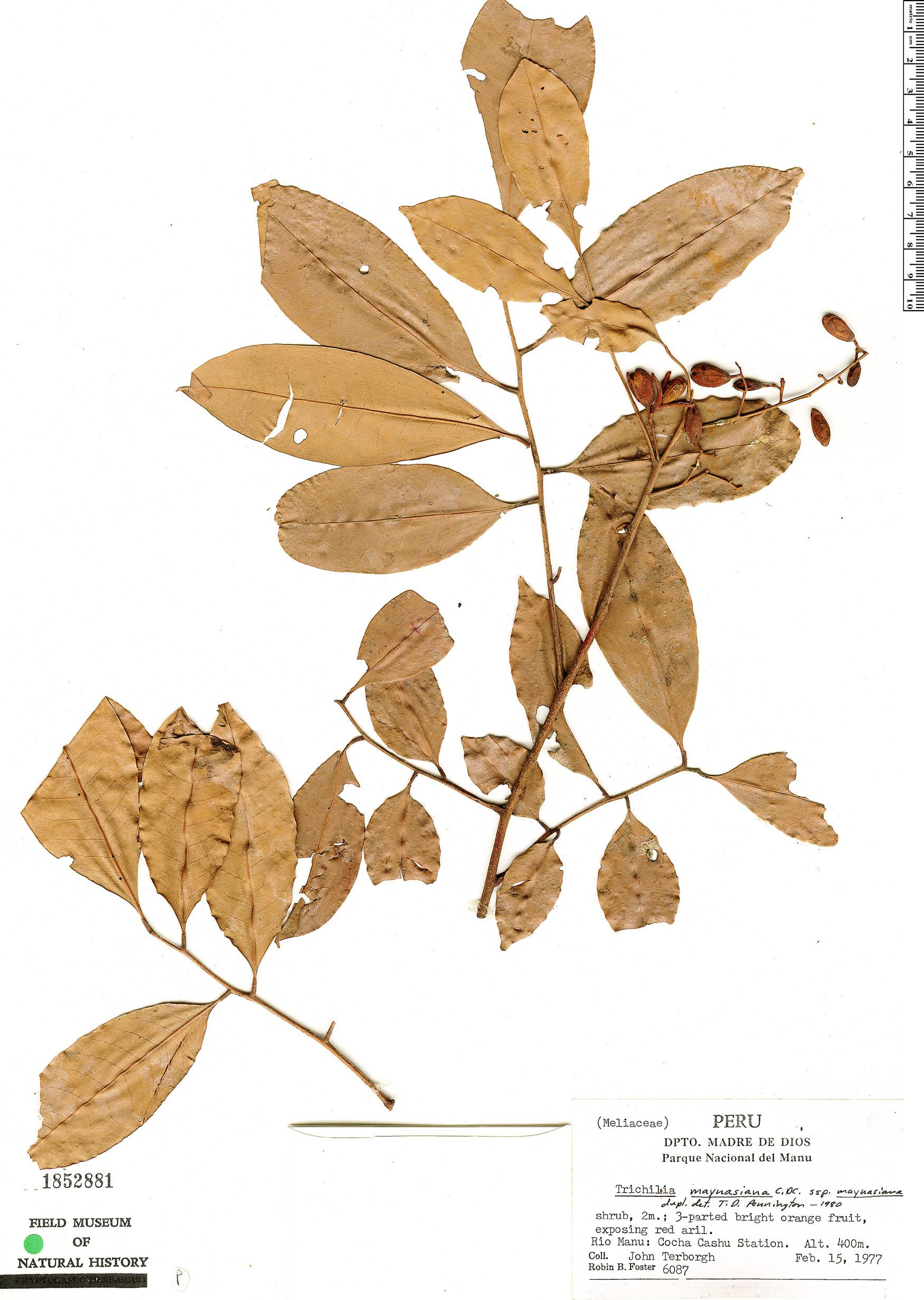 Specimen: Trichilia maynasiana